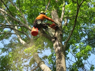 Picture of a tree climber in a large oak tree cutting off dead limbs in Quincy, MA